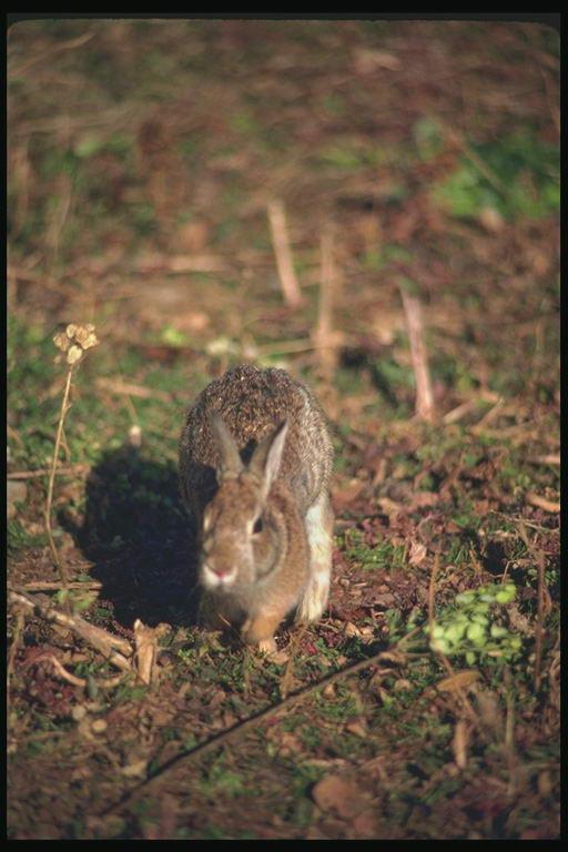 Hare vs jackrabbit - photo#13
